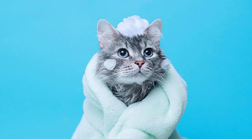 wet gray tabby cute kitten after bath wrapped in green towel_KDdesignphoto_shutterstock