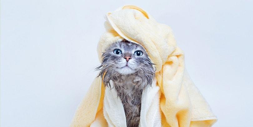 wet gray tabby cute kitten after bath_KDdesignphoto_shutterstock