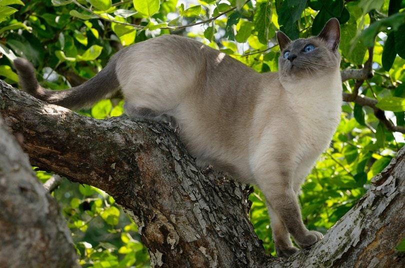 Kucing Siam Blue Point melihat ke atas di pohon apel