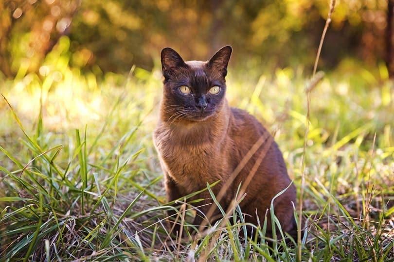Brown Burmese cat in the garden