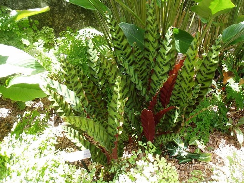 Calathea lancifolia-Plectranthus verticillatus