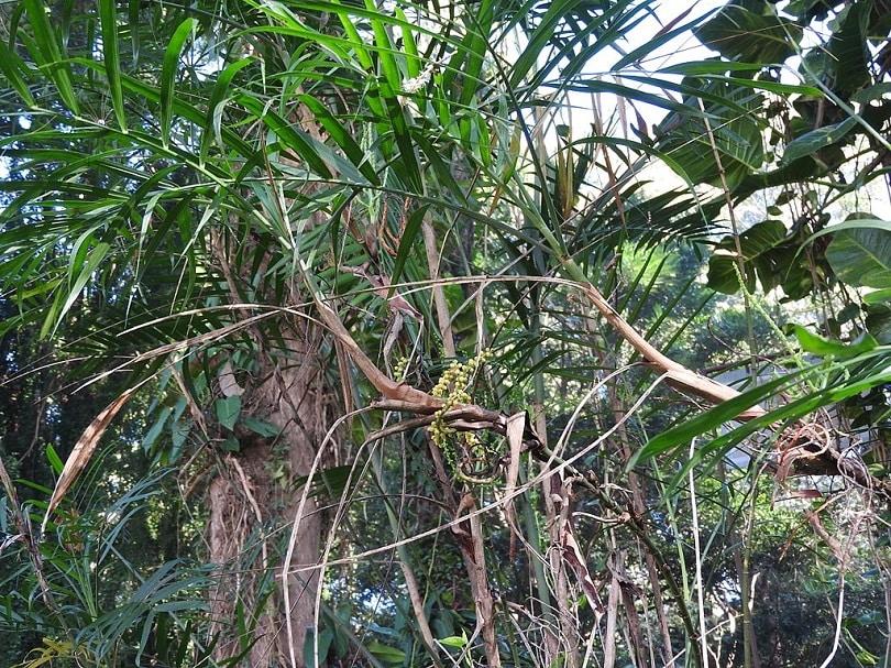 Chamaedorea seifrizii-Plectranthus verticillatus