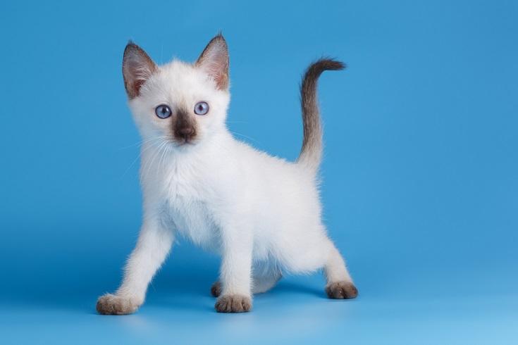 Chocolate Point Siamese kitten