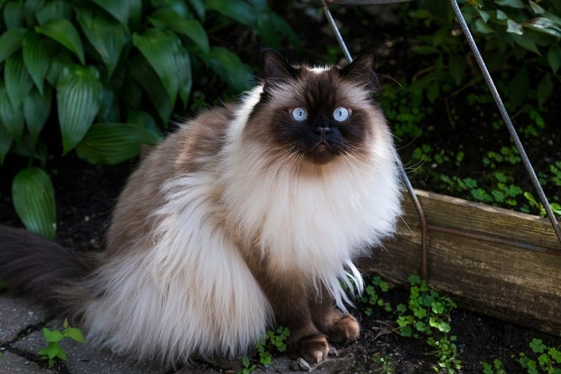 Chocolate point doll-faced himalayan cat