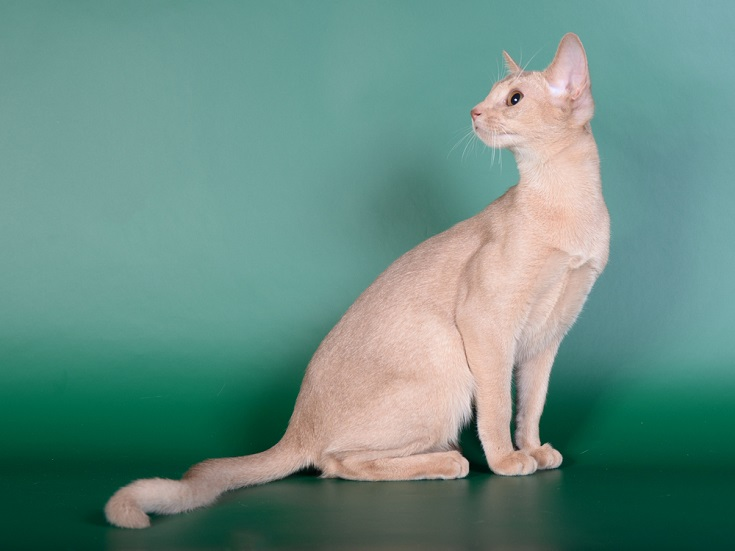 Fawn abyssinian cat