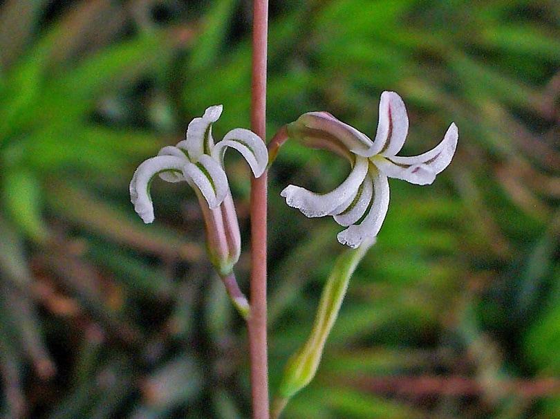 Haworthia attenuata hybrids-Plectranthus verticillatus