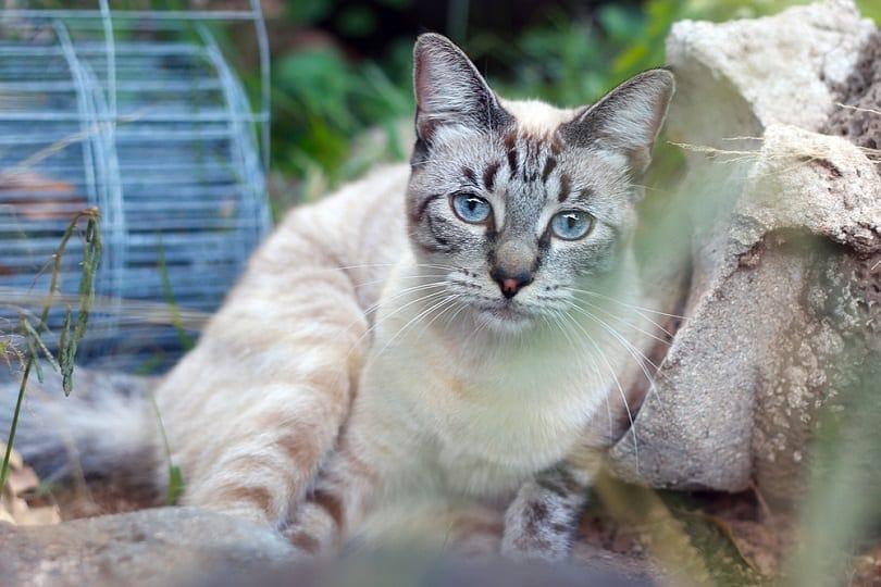 Lynx Point Siamese Cat with Blue Eyes_Moriah-Diamond_shutterstock