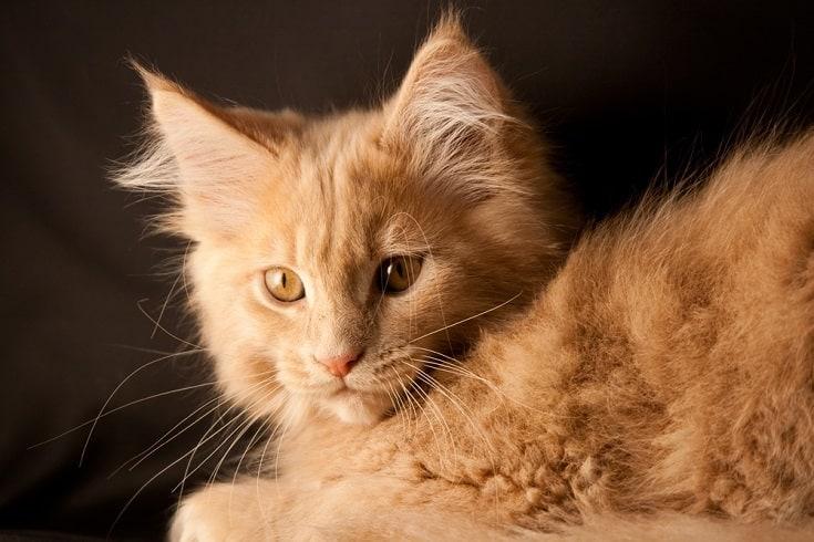 Orange Maine Kitten