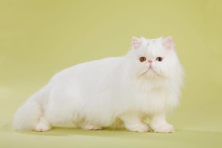 Silver Chinchilla Persian cat_Shutterstock_Linn Currie