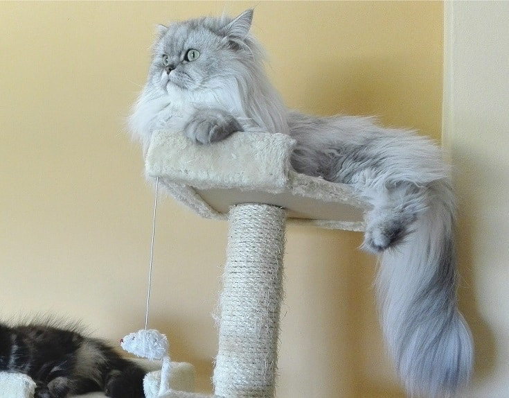 Silver Shaded Chinchilla Persian Cat