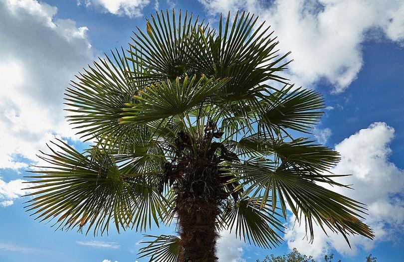 Trachycarpus fortunei-Plectranthus verticillatus