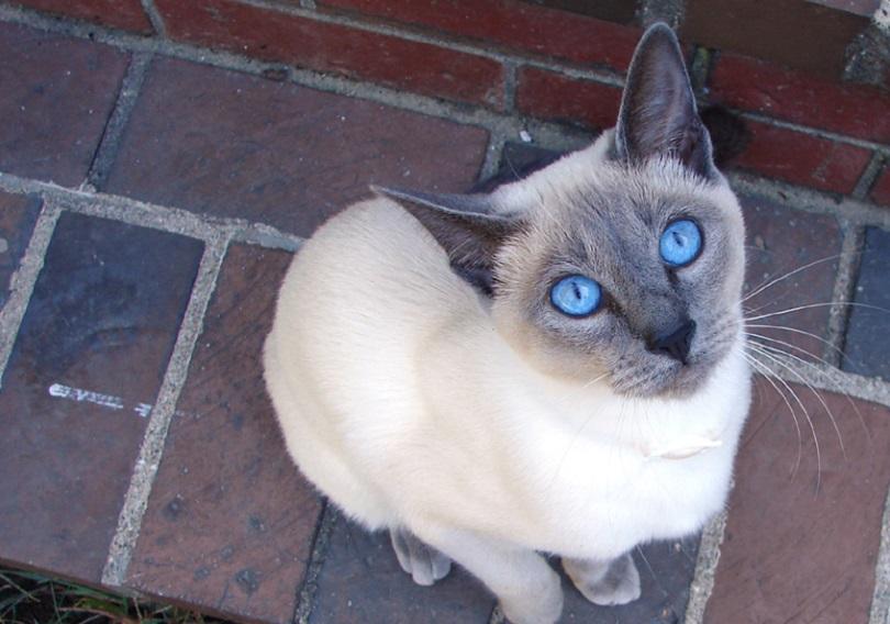 kucing siam titik biru melihat ke atas