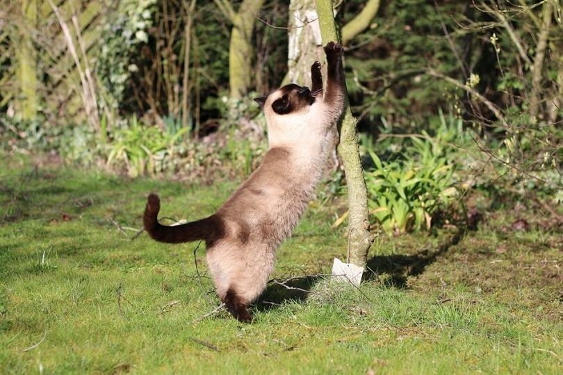 a snowshoe siamese cat stretching