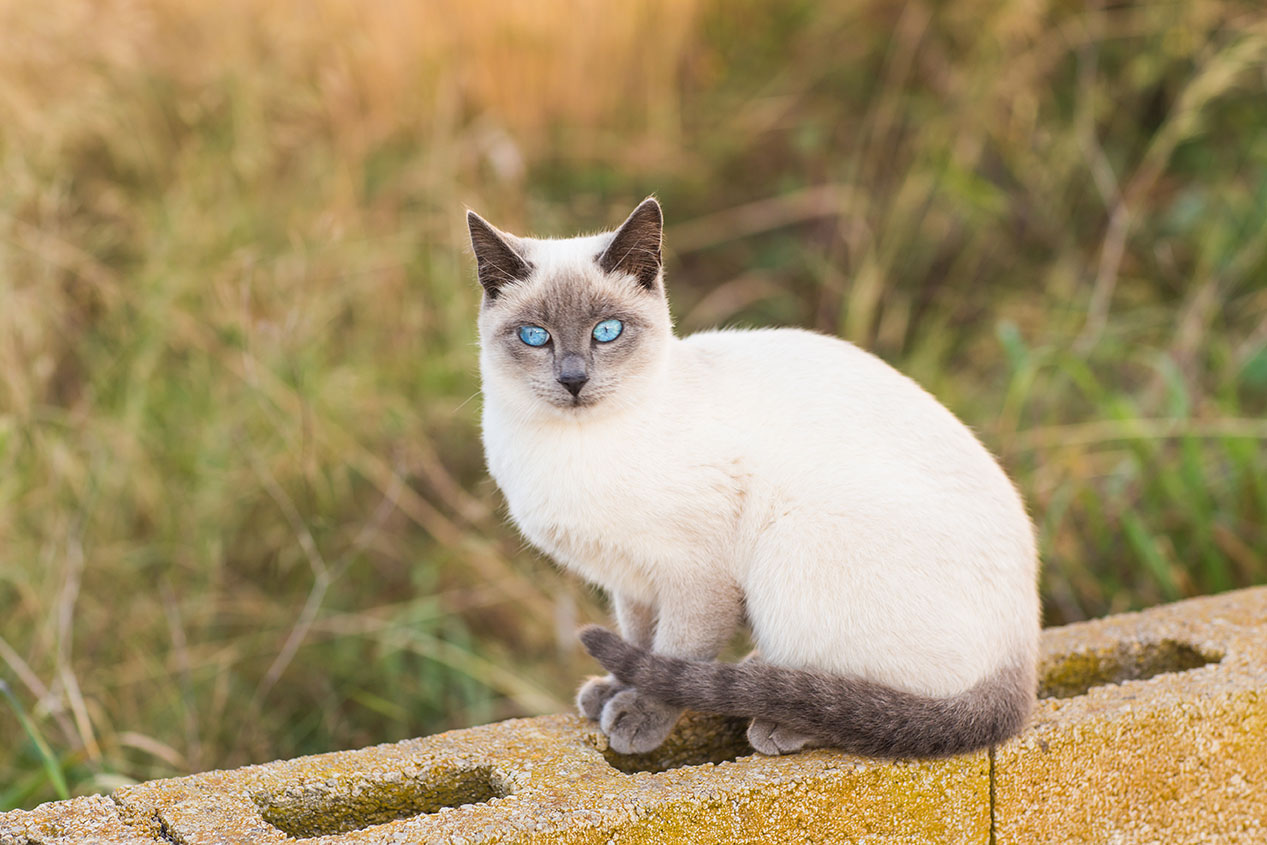applehead siamese cat sitting