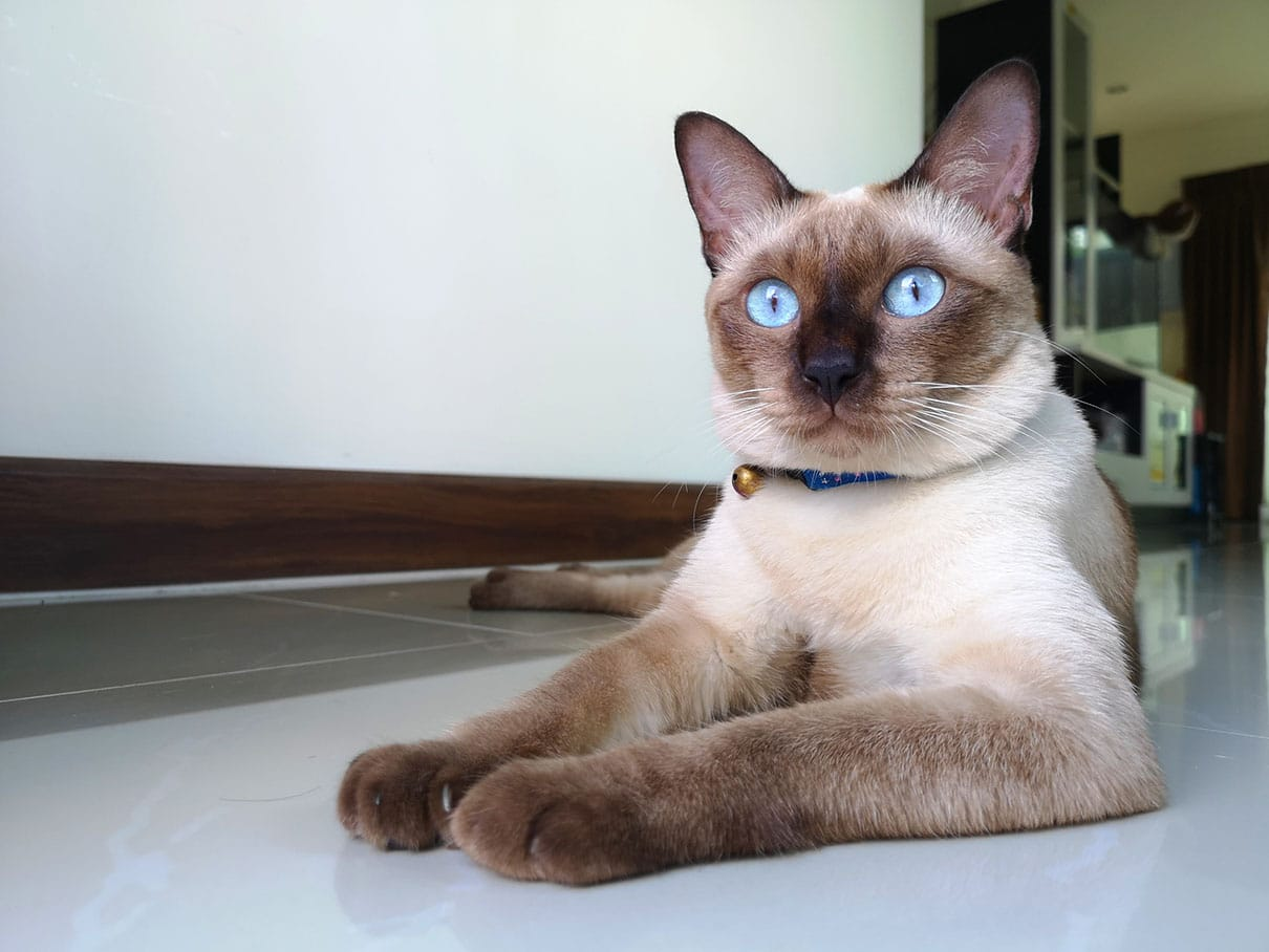 applehead siamese cat