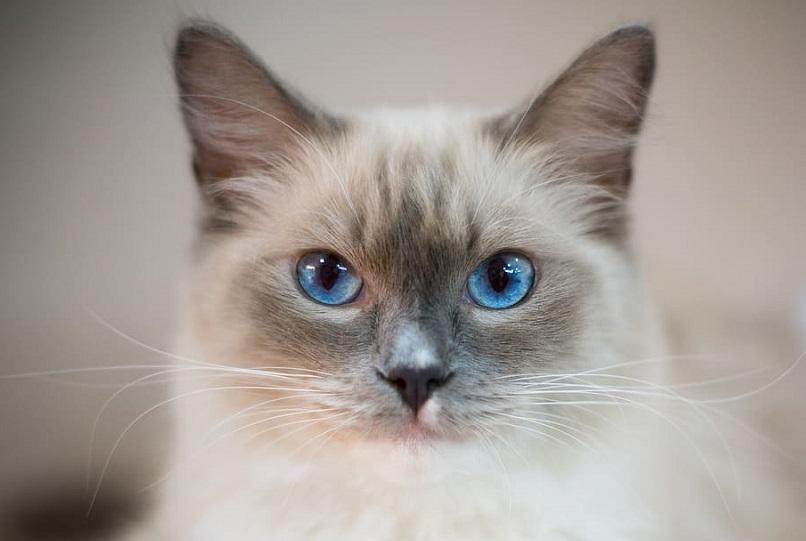 kucing siam titik biru dari dekat