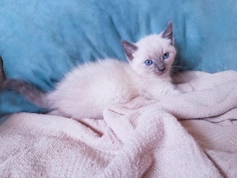 kucing siam bluepoint