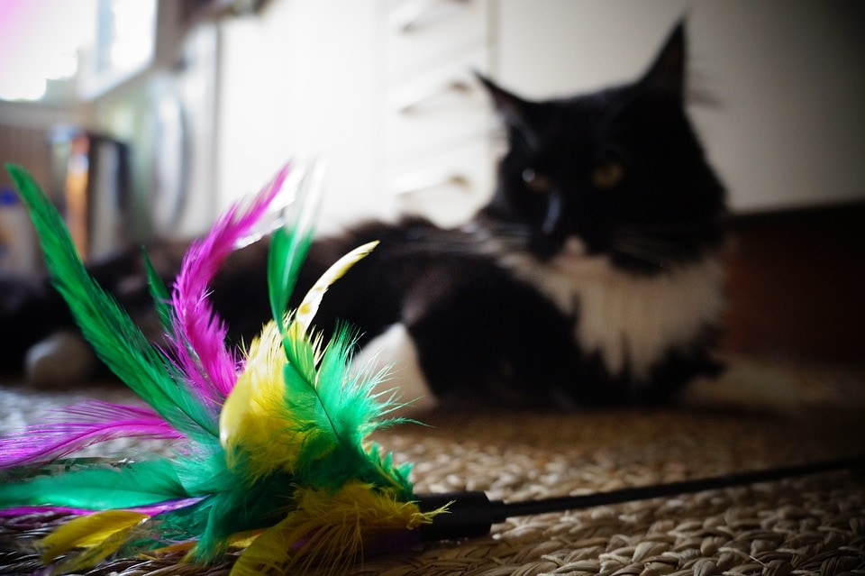 cat and feather toy