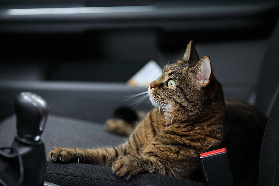 cat inside the car