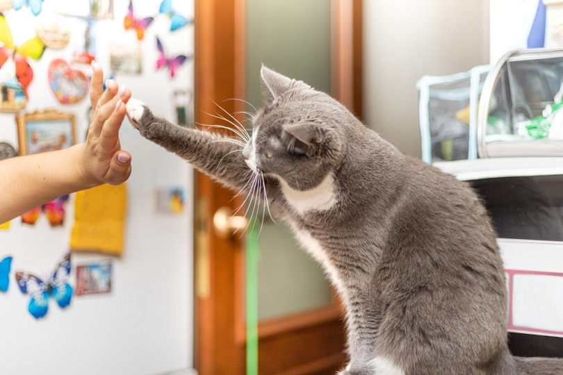 cat sits on the table high five_rossiaa33_shutterstock