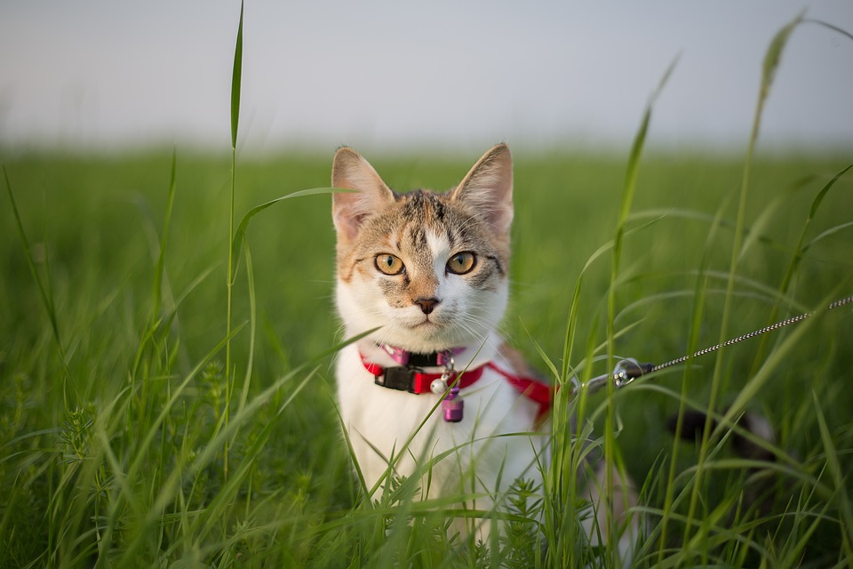 cat with leash and harness