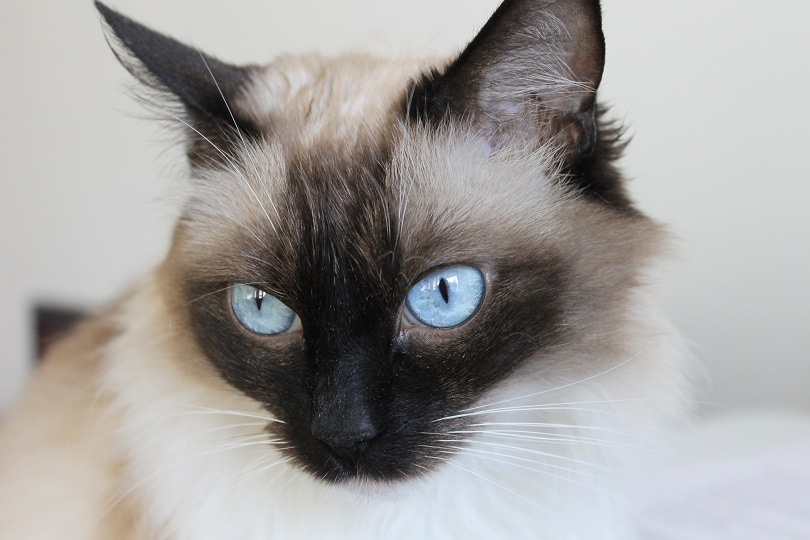 close up of snowshoe siamese cat