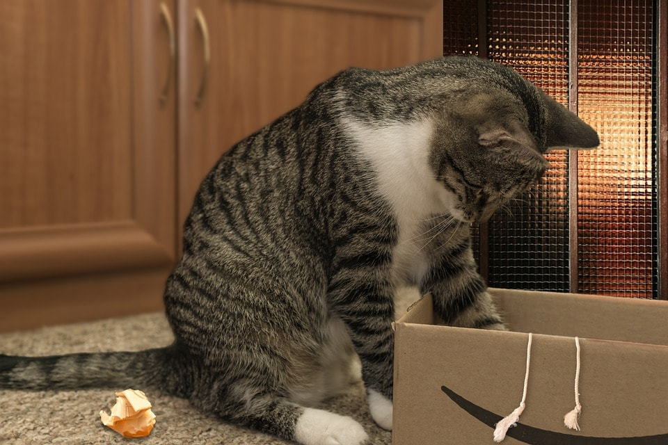 european shorthair cat searching inside the cardboard