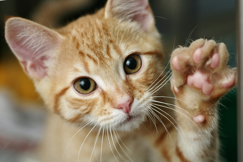 ginger kitten waving_sue mcdonald_shutterstock