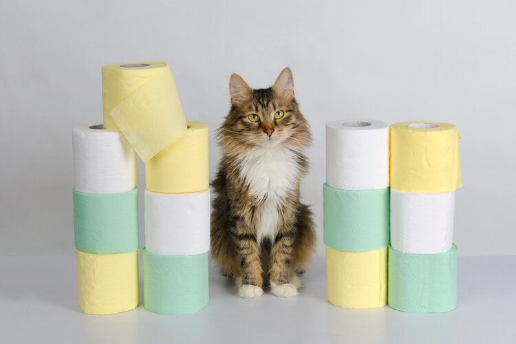 maine coon with toliet paper