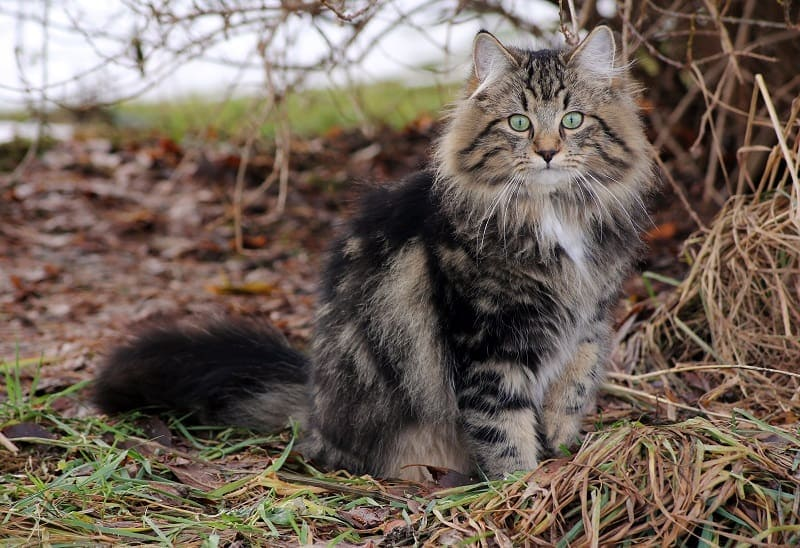 norwegian forest cat_shutterstock_Astrid Gast