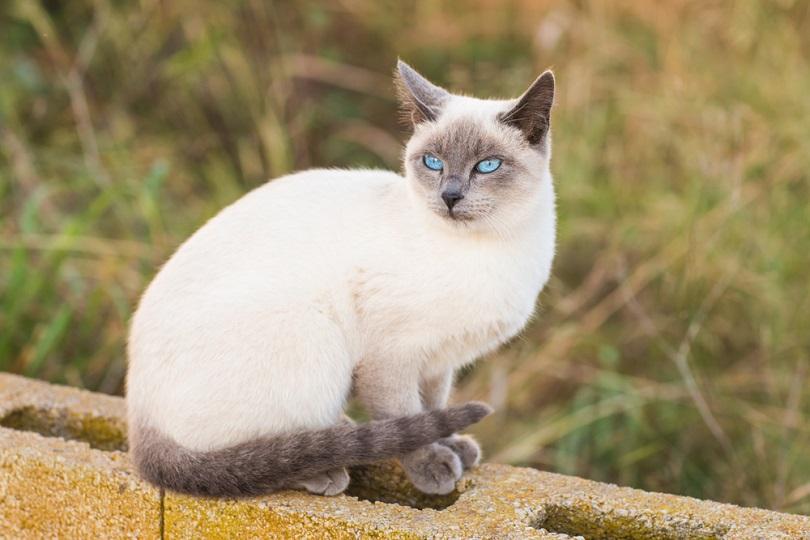 portrait of a blue point siamese cat
