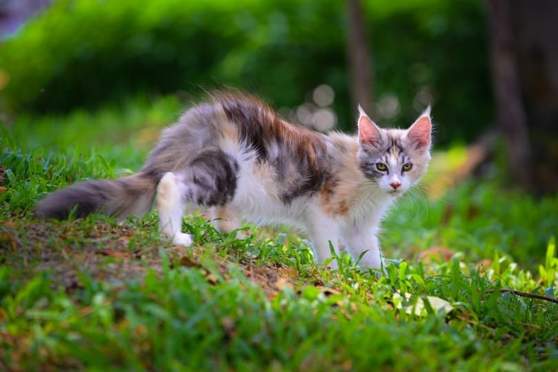3 color cat walking in green garden Silver patched kitten_Winessyork_shutterstock
