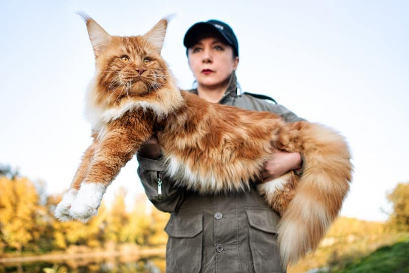 A girl holding in arms a huge maine coon cat