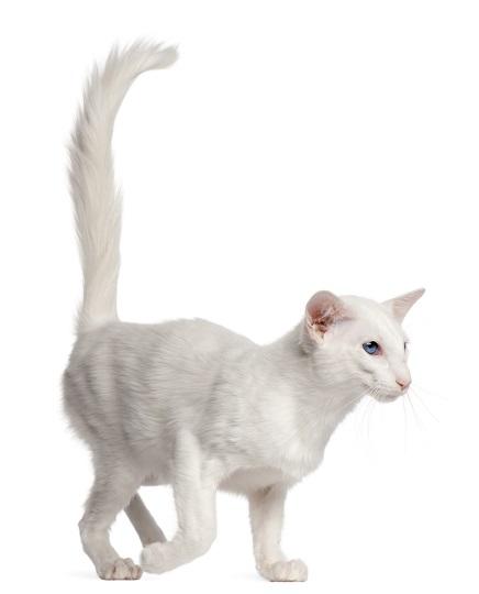 Kucing Bali_Eric Isselee_shutterstock