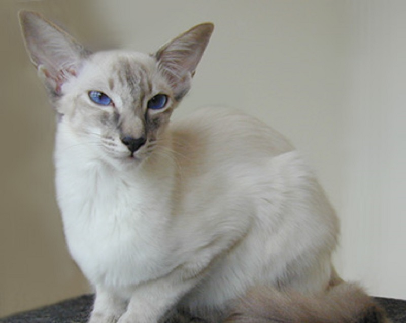 Balinese_blue_lynx_point