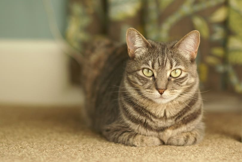 Beautiful grey tabby cat_Kathie Walters_shutterstock