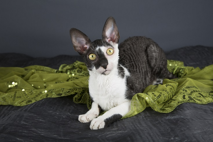 Bi-color Cornish Rex