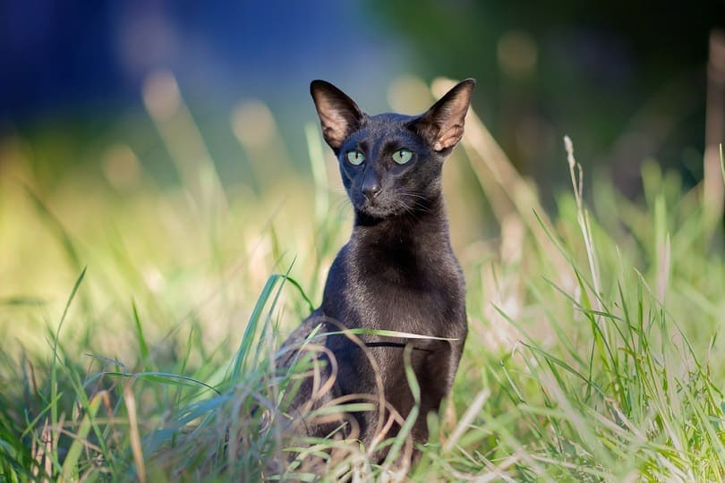 Black Oriental Shorthair in the grass