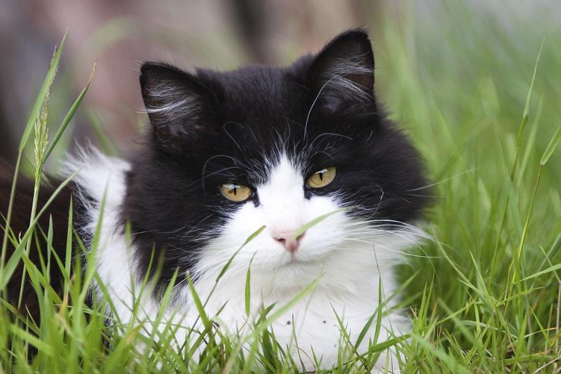 Black and White tuxedo cat grass_Melody Sundberg_shutterstock