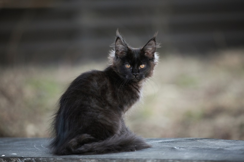 Black maine coon kitten sitting outdoor