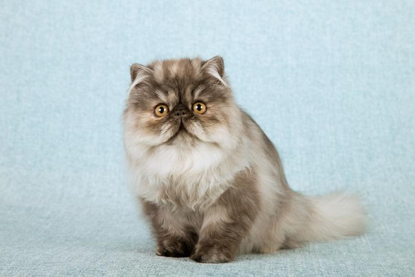 Blue smoke tortie kucing Persia kitten_Linn Currie_shutterstock