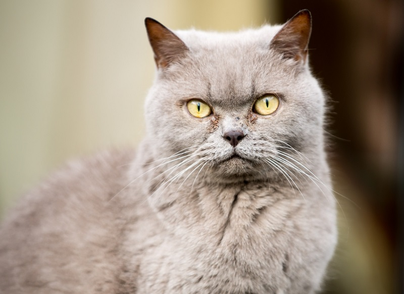 British Shorthair Appearance