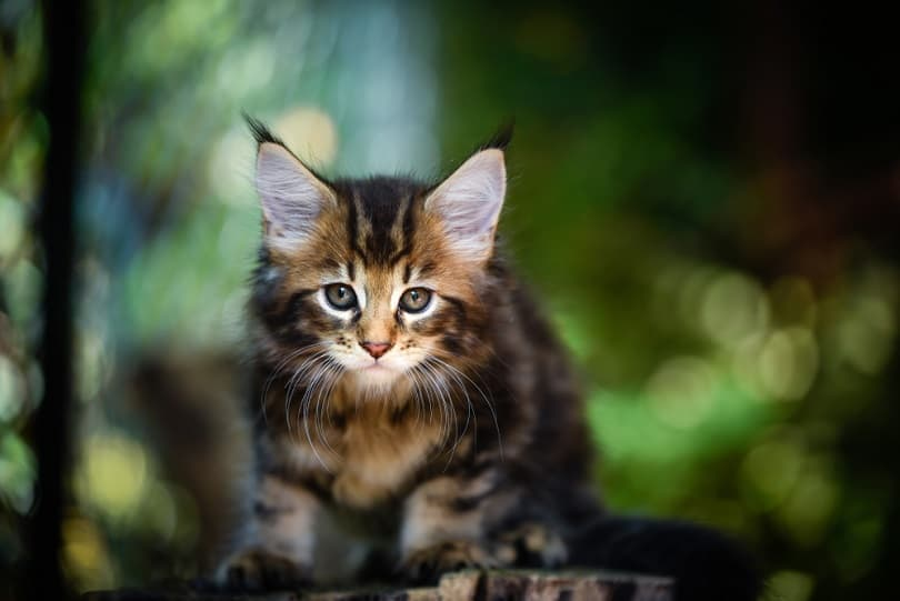 Brown tabby Maincoon cat yellow eyes_Winessyork_shutterstock