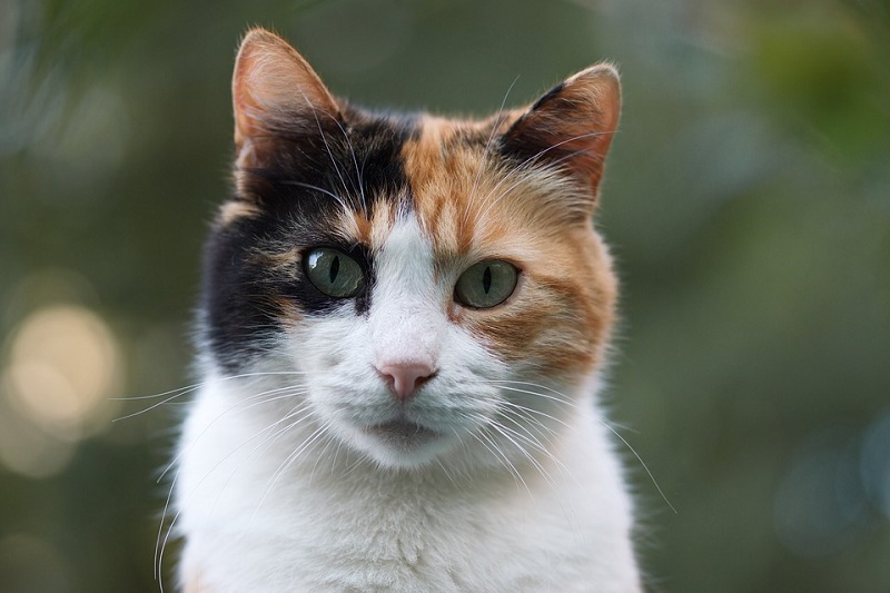 Calico Close up
