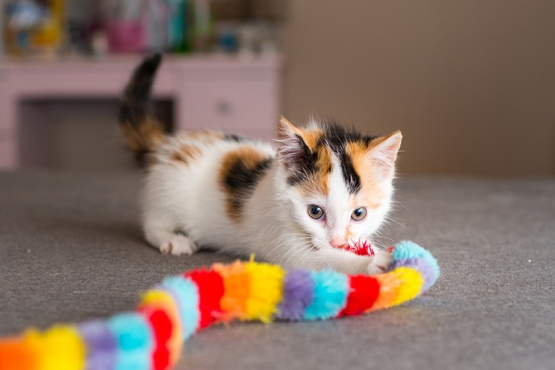 Calico Kitten with Toy_Casey Elise Christopher_shutterstock