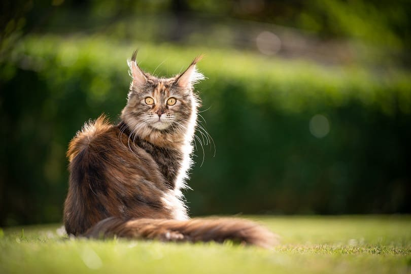 Calico maine coon cat sitting outside