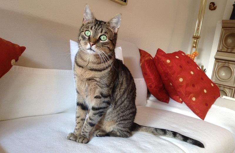 Cat American Shorthair