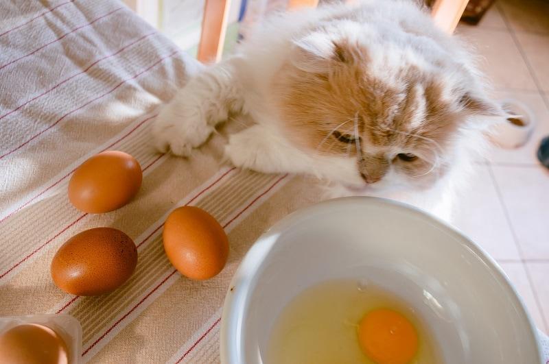 Cat eating eggs_shutterstock_okeykat