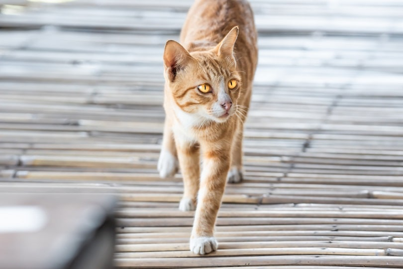 Cat is walking on bamboo plate floor_Onkamon_shutterstock