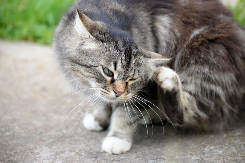 Cat with fleas_shutterstock_Maja Marjanovic